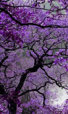 I knew nothing about this tree.would love a yard full. jacaranda The most beautiful flowering tree ever. The streets of my childhood are lined with these elegant trees.and in a gentle wind.purple rain indeed. Purple Love, Purple Rain, Shades Of Purple, Purple Things, Purple Lilac, Beautiful World, Beautiful Places, Simply Beautiful, Purple Trees