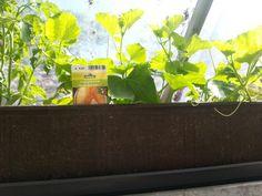 07.06.2014, auch die Honigmelonen wachsen sehr gut direkt unter dem Gewächshaus Dach