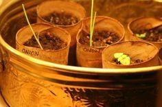 onion-seedlings