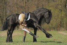 Bonito caballo frisón aprendiendo