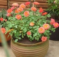 Jardim da Terra: COMO CULTIVAR: Como plantar rosas em vasos Green Garden, Shade Garden, Garden Pots, Container Plants, Container Gardening, Beautiful Roses, Beautiful Gardens, Plant Species, Growing Plants