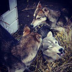 Räntä, Loska & Rapa. Lovely straw! Husky, Dogs, Animals, Animales, Animaux, Pet Dogs, Doggies, Animal, Animais