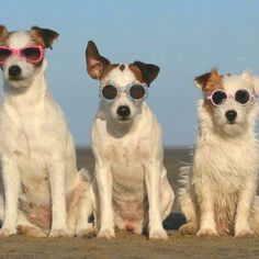 This cool trio of dogs sport sunglasses at the beach. This way they can watch the babes without anyone knowing.
