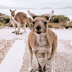 Australia travel tips! All information for a perfect round trip! - Discover the most beautiful corners of Australia on an Australia road trip! Cute Photography, Animal Photography, Travel Photography, Amazing Animals, Animals Beautiful, Baby Animals, Cute Animals, Road Trip, Family Vacation Destinations