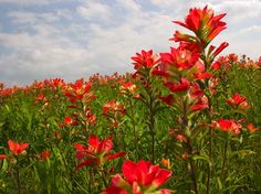 Indian Paint Brushes remind me of when i was a little girl in Oklahoma running around our fields barefoot without a care in the world. Prairie Fire, California Wildflowers, Native American Legends, Oklahoma, Indian Paintbrush, Landscape Photos, Paint Brushes, Watercolor Flowers, Flower Pots