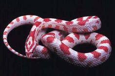 I adore corn snakes