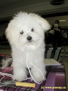 Bessy 6/2012 - Bichon Bolognese / Boloňský psík