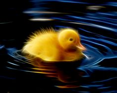 Baby Duckling Swimming by Bob Smerecki