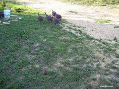 Η εκτροφή της φραγκόκοτας http://ift.tt/2IASlDZ