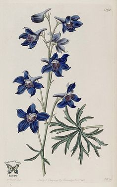 Menzies' Larkspur. Delphinium menziesii. Violet, wavy-edged flowers are ruffled and veined. Tuberous perennial 1.5-2 feet tall. The Botanical Register vol. 14 (1828)