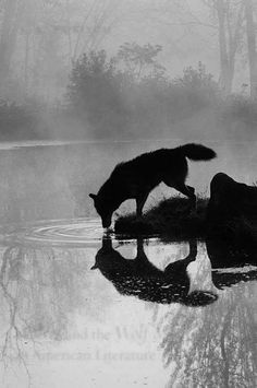 Gray Wolf (Canis Lupus) Drinking in the Fog, Reflected in the Water, in Captivity, Minnesota, USA by James Hager