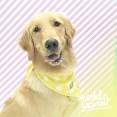 Qué tal esta sonrisa tan coqueta de Chloe #GoldenWawaw estrenando pañoleta?