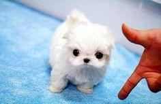 Teacup Puppies for Sale, Teacup Maltese, Teacup Yorkie,teacup . Adorable Cute Animals, Cute Little Animals, Little Dogs, Animals Beautiful, Tiny Puppies, Puppies And Kitties, Cute Puppies, Cute Dogs, Teacup Maltese