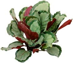 Calatheas can be propagated by plant division. We'd all like more of these beautiful plants, sometimes called the Peacock Plant, but propagation is a little difficult. Big Leaf Indoor Plant, Indoor Flowering Plants, Tropical Plants, Plants That Repel Bugs, Water Plants, Cool Plants, Indoor Plants Online, Best Indoor Plants, Indoor Garden