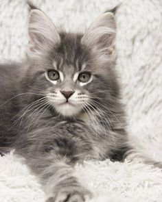 Main Coon cats are so beautiful!