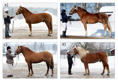 types of the Finnhorse: a) trotter type; b) riding horse type; c) pony-sized type; d) draught horse type Different Horse Breeds, Types Of Horses, Work Horses, Horses And Dogs, Most Beautiful Animals, Beautiful Horses, Palomino, Rare Horse Breeds, Harness Racing