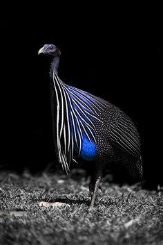 Vulturine Guineafowl  #birds #beautiful #photography