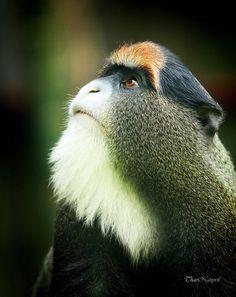 Monkeys - Nature Animals Monkey