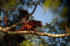 35PHOTO - stefano.tassano - howler monkey