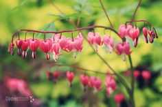 The latin name for Bleeding Heart has changed from Dicentra spectablis to Laprocapnos spectabilis.