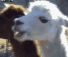 A llama that's wise to your shenanigans: | 21 Things You've Never Seen Before In Your Life