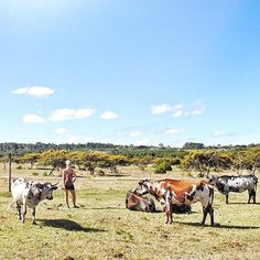 Herding the Nguni cattle in the Eastern Cape. South Africa. Cattle. Nguni cow. Farm life. Farm view.