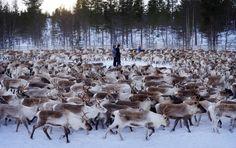 Stunning Photos Of Norway's Reindeer Hide A Radioactive Secret http://www.huffingtonpost.com/entry/norway-radioactive-reindeer_us_56cf20e6e4b0871f60ea3c26