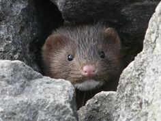 Mink. When she was 8 years old, my daughter petitioned our local MLA to stop supporting mink farms in rural NS. This inspired my Marty Mink comic strip character. This little fella needs his fur more than I do. We believe animal cruelty is bad for the soul. :)