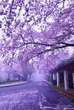 lifeisverybeautiful: Cherry Blossoms Japan by Hideo Sakai Wallpaper HD Purple Wallpaper, Scenery Wallpaper, Beautiful Nature Wallpaper, Beautiful Landscapes, Aesthetic Backgrounds, Aesthetic Wallpapers, Purple Aesthetic, Fantasy Landscape, Nature Pictures
