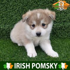 Pomsky Puppy For Sale Katiebrooke Kennels Pomsky Puppy Specialists Pomsky Puppies For Sale, Dogs And Puppies, Doggies, Cute Animal Pictures, Dog Pictures, Pomeranian Husky, I Like Dogs, Brown Eyes, Poodle