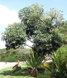 Cussonia Spicata          Cabbage Tree        Gewone Kiepersol         3-10 m          S A no 564          Growing in Walter Sisulu NBG