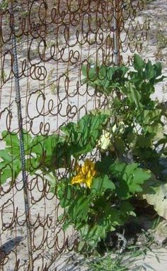 old bed spring for gourd trellis -- Brilliant.