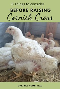 Are you thinking about raising meat birds? Here are 8 things you need to think about before you decide to raise Cornish Cross chickens for the freezer.