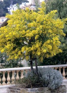 Fiche plante : Mimosa