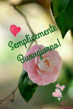 Immagini di Buongiorno - ProverbiBelli.it Start The Day, Good Morning, Rose, Flowers, Verses, Amazing, Be Nice, Pictures, Italia
