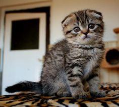 Scottish Fold, Cat, Tabby AWWWWWWWWWW ♥
