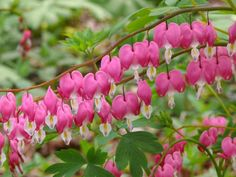 Excellent for shady, woodland areas Brilliant for naturalizing Unusual flowers Dicentra spectabilis 'Bleeding heart' Full hardy perennial which is excellent for shady areas. Beautiful fern like red tinged green leaves with heart shaped red/white flowers in their hundreds which adorn from very attractive deep red slender arched stems in april/may Brilliant for wooded woodland areas Good for sun or shade and grows to around 60cm to 70cm in height. Ideal plant for naturalizing.
