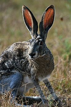images of jack rabbits   Jack Rabbit