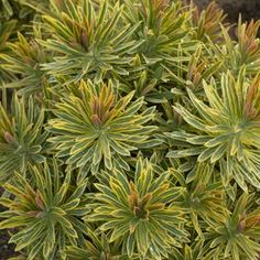 Euphorbia Ascot Rainbow - produces variegated cream, lime, and green flowers (bracts) with the cooler months bringing shades of red, pink, and orange to the foliage.  2' h x w, zones 5-9.  full sun-partial shade.  Early spring - early summer flowering.
