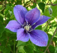 Solitary Clematis 'Arabella' (Clematis integrifolia)