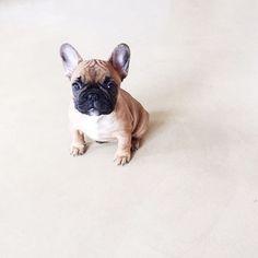 Morning all! Happy day  #puppy #ivy #morning #Amsterdam #frenchie #frenchbulldog