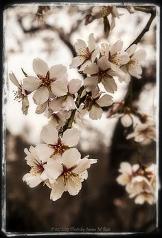 Almond blossom by Juana Maria Ruiz on 500px