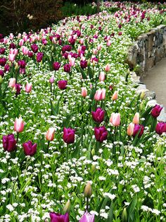 Tulpen in Pink und Lila - Pink and purple tulips at Butchart Gardens, Victoria, BC Photo by Beth Bryan Tulips Garden, Garden Bulbs, Planting Flowers, Flower Gardening, Beautiful Gardens, Beautiful Flowers, White Flowers, Jardim Natural, Purple Tulips