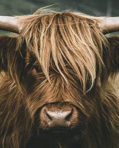 Highland Cattle, Highland Cow Art, Isle Of Mull, Cow Painting, Wood Paintings, Black Faced Sheep, Scottish Highland Cow, Road Trip, Fluffy Cows