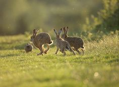 Brown Hare 3 way chase, June sunset. Suffolk. Lepus europaeus