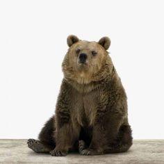 Vriendelijke zittende beer. Foto op canvas, foto op hout, foto op aluminium. Wanddecoratie.
