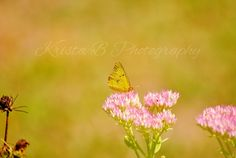 Digital Download Clouded Sulphur Butterfly Nature Photography by KristaBPhotography