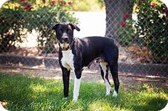Colusa in Colusa County, CA - Border Collie/Labrador Retriever Mix. Meet MOLLY, a dog for adoption. http://www.adoptapet.com/pet/13463454-corning-california-border-collie-mix
