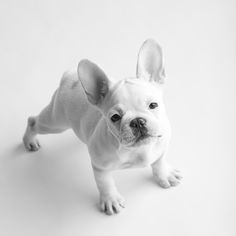 white frenchie cuteness