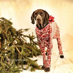 A dog is for life not just Christmas.  At this time of year so many animals are bought and discarded just after Christmas.  Branston and I implore you to not let another pet become a statistic. #gsp #dog #christmas